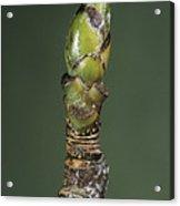 Whitebeam Tree Leaf Bud (sorbus Aria) Acrylic Print