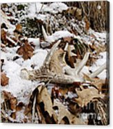 Whitetail Deer Antler  - Half Of 10 Acrylic Print