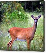 Whitetail Deer IIi Acrylic Print