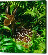 Whitetail Fawn And Ferns Acrylic Print