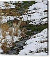 Whitetail Fawn In Winters Stream  Acrylic Print