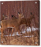 Whitetails On The Move Acrylic Print
