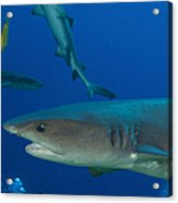 Whitetip Reef Shark, Papua New Guinea Acrylic Print by Steve Jones