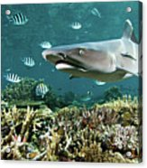 Whitetip Shark Over Coral Reef Acrylic Print by Alexander Safonov