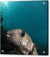 Wide-angle Image Of Pufferfish, Raja Acrylic Print