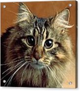 Wide-eyed Maine Coon Cat Acrylic Print