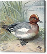 Widgeon, Historical Artwork Acrylic Print