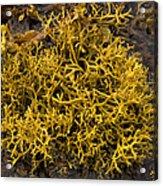 Wig-wrack Seaweed Acrylic Print by Bob Gibbons