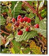 Wild Berries Acrylic Print by Liz Vernand