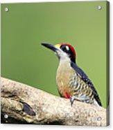 Wild Black-cheeked Woodpecker Acrylic Print