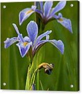 Wild Blue Flag Iris Acrylic Print