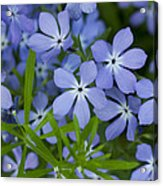 Wild Blue Phlox Flower 1 A Acrylic Print