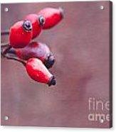 Wild Brier Acrylic Print