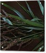 Wild Brown Grass Acrylic Print