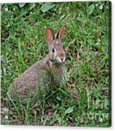 Wild Bunny Acrylic Print