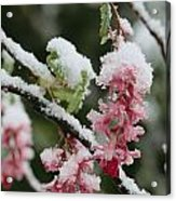 Wild Currant Blossoms Ribes Sanguineum Acrylic Print