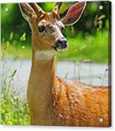 Wild Deer Acrylic Print