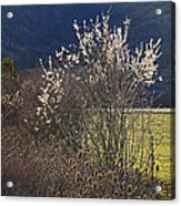 Wild Fruit Tree In The Country Acrylic Print