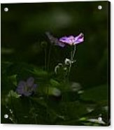 Wild Geranium In Woodland Light Acrylic Print