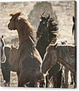 Wild Horse Battle Acrylic Print