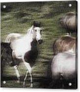 Wild Horses On The Move Acrylic Print