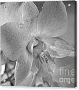 Wild Maui Orchid Acrylic Print