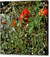 Wild Paint Brush Acrylic Print