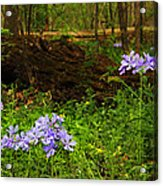 Wild Phlox In The Woodlands Acrylic Print