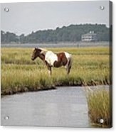 Wild Pony In The Marsh On Assateague Island Md Acrylic Print