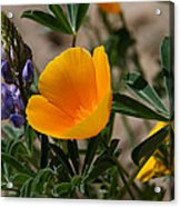 Wild Poppy And Lupine Acrylic Print