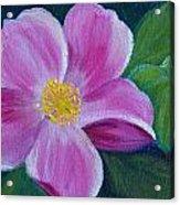 Wild Rose Study 6 Acrylic Print