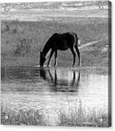 Wild Spanish Mustang Of Obx Nc Acrylic Print