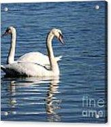 Wild Swans Acrylic Print by Sabrina L Ryan