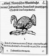 Wild Turkey, 1604 Acrylic Print
