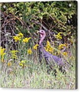Wild Turkey - Gobbler - Thanksgiving Acrylic Print