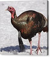 Wild Turkey In The Snow Acrylic Print