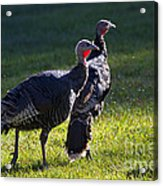 Wild Turkeys Acrylic Print by Mike  Dawson