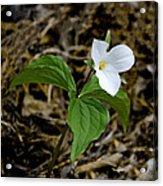 Wild White Trillium Acrylic Print