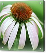 Wildflower In The Park Acrylic Print by Maureen  McDonald