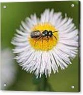 Wildflower Named Robin's Plantain Acrylic Print