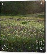 Wildflower Sunburst One Acrylic Print
