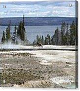 Wildlife In Yellowstone Acrylic Print