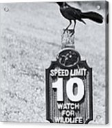 Wildlife Watching The Speed Limit Acrylic Print