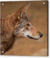 Wile E Coyote Acrylic Print