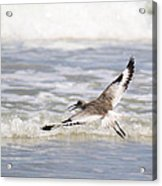 Willet Flying Acrylic Print