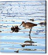 Willet Walks On Water Acrylic Print