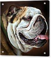 Willie Loves Me An English Bulldog Acrylic Print by Dorothy Walker