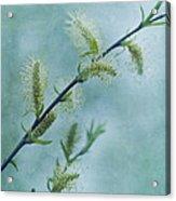 Willow Catkins Acrylic Print