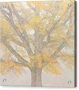 Willow Oak In Fog Acrylic Print by Bill Swindaman