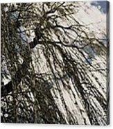 Willow Tree Acrylic Print by Todd Sherlock